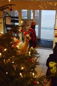 """Ebenso """"alle Jahre wieder"""" mit dabei beim Adventsbasar, der Alpaka-Hengst"""